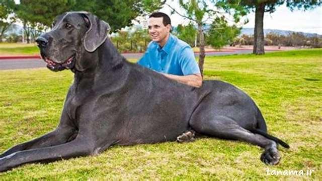 بزرگترین سگ جهان
